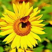 Sunflower And Butterfly Art Print