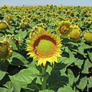 Sunflower And Honeybees July Two K O Nine  II Art Print