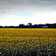 Sunflower Farm In North Dakota Art Print