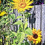 Sunflower Fence Art Print