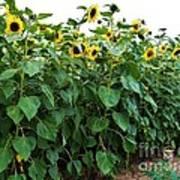 Sunflower Fields Forever   Four Art Print