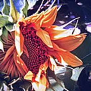 Sunflower In Bloom  Art Print