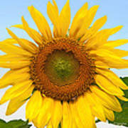 Sunflower On Blue Art Print