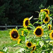 Sunflower Patch Art Print