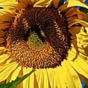 Sunflower Up Close Art Print