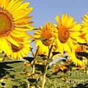 Sunflowering Art Print