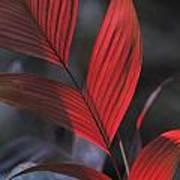 Sunlight Illuminates The Red Leaves Art Print