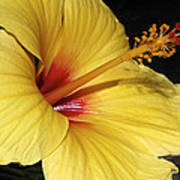 Sunny Yellow Hibiscus Flower Art Print