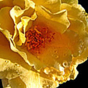 Sun Rays On The Yellow Petals Art Print