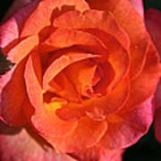 Sunrise Rose Art Print