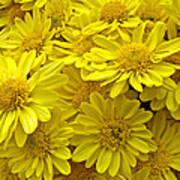 Sunshine Yellow Chrysanthemums Art Print