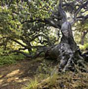 Sunstar Oak Art Print