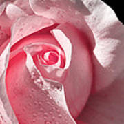 Supple Pink Rose Dipped In Dew Art Print