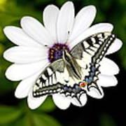 Swallowtail Butterfly Resting Art Print