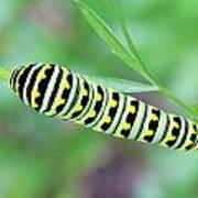 Swallowtail Caterpillar On Parsley Art Print