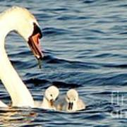 Swan And Signets On Wall Lake  Art Print