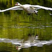 Swan Ascent Art Print