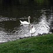 Swan Couple Art Print