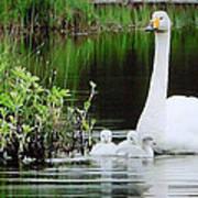 Swan Family Late Summer Art Print