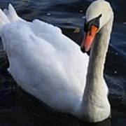 Swan Flying In The Water  Denmark Art Print