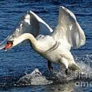 Swan In Action Art Print