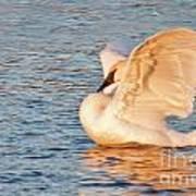 Swan In Golden Light Art Print