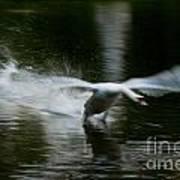 Swan In Motion Art Print