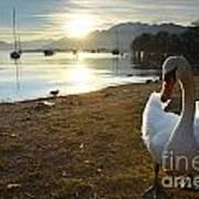 Swan On The Beach Art Print