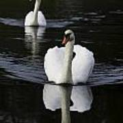 Swan Pair 2 Art Print
