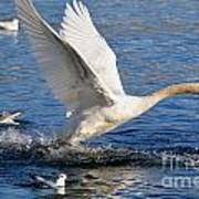 Swan Take Off Art Print