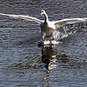 Swan Touches Down Art Print