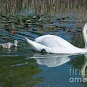 Swan With Cygnets Art Print