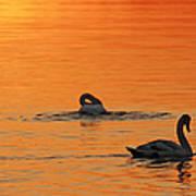 Swans In Early Light  Art Print