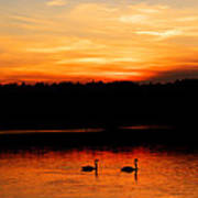 Swans In The Sunset Art Print