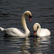 Swans Swimming Art Print