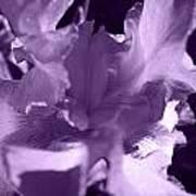 Sweet Lavender Art Print