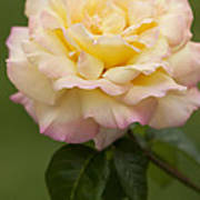 Sweet Peace Rose Art Print