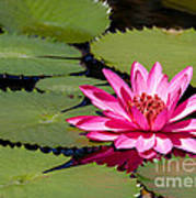 Sweet Pink Water Lily In The River Art Print