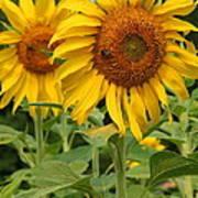 Sweet Sunflowers Art Print