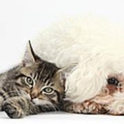 Tabby Kitten And Bichon Fris� Art Print