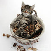 Tabby Kitten In Potpourri Basket Art Print