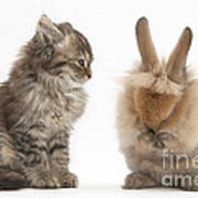 Tabby Kitten With Young Rabbit, Grooming Art Print