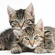Tabby Kittens Cuddling Art Print