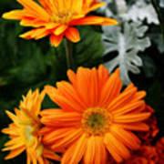 Tangerine Colored Gerbera Daisies Art Print