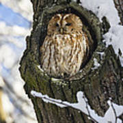 Tawny Owl Strix Aluco In Nest Hole Art Print