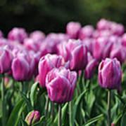 Taylor's Tulips Art Print