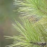 Tender Pines Art Print