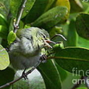 Tennesse Warbler Eating Mangrove Art Print