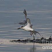 Tern Emerging With Fish Art Print