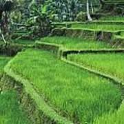 Terraced Fields Of Rice Art Print